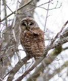 Barred Owl and nest site