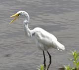 Egret's Odd Bill