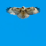 Red-tailed hawk hovering, Malibu