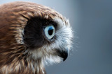 Bandit, the boobock owl