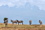 Zebra with Mount Kenya beyond
