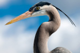 Great Blue Heron close-up