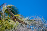 Red-tailed hawk swooping, Malibu