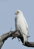 Leucistic Red Tail Hawk_NW00878.jpg