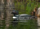 _NW05390 Male Loon Grafton Pond.jpg