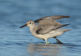 red_knot_with_transmitter_9-16-11