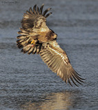 Bald Eagle Juvenile Catching Fish ~ Amesbury, MA