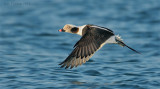 Long Tailed Duck Drake in Flight.jpg