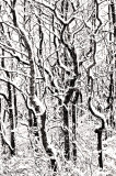 _N123106 Plum Island Trees in Snow.jpg