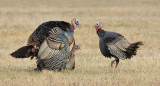 _N123801 Wild Turkeys Mating.jpg