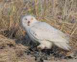 _NW93193 Snowy Owl With Breafast.jpg