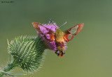 _NW09065 Clear Wing Hummingbird Moth.jpg