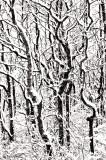 _N123106 Plum Island Trees in Snow.jpg