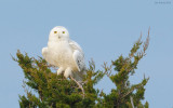 _N123704 Snowy Owl on Juniper.jpg