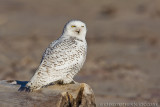 Snowy Owl, Winter 2011-2012
