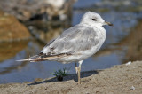 Mew Gull, possible 2nd cycle