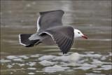 Heermann's Gull, alternate adult