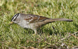 White-crowned Sparrow, adult