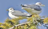 pale-eyed Mew Gull, basic adult