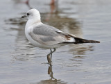 Mew Gull, 2nd cycle (#1 of 2)