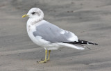 Mew Gull, basic adult