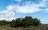 Coastal Black Mangrove.jpg