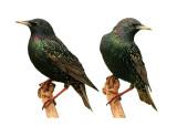 starling target.jpg