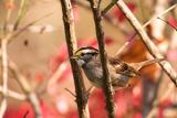 White throated sparrow - one of my favorite birds!