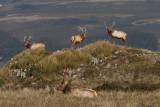 Tomales Point Tule Elk