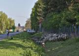 Main street grazing