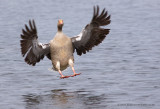 Greylag Goose coming into land