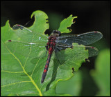 Leucorrhinia rubicunda - Nordisk kärrtrollslända .jpg