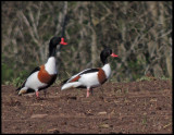 Shelduck  (male and female)- Tadorna tadorna - Gravand.jpg