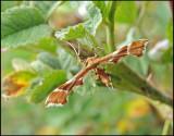 Pterophoridae - Fjädermott