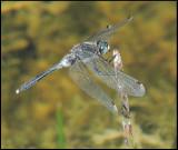 Leucorrhinia albifrons - Pudrad kärrtrollslända.jpg