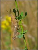 Chorthippus apricarius - Field Grasshopper - Solgräshoppa -