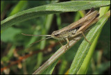 Lesser Marsh Grasshopper -Strandängsgräshoppa -Chorthippus albomarginatus .jpg