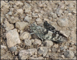 Blue Sand Grasshoppers (pair) - Blåvingade gräshoppor - Sphingonotus caerulans.jpg