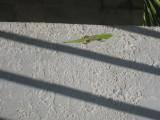 A lizard on the walk