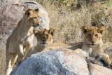 Tsalala Cubs at Den