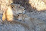 Tsalala Lioness And Cub
