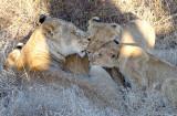 Tsalala Lioness And Cubs