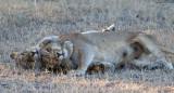 Tsalala Lionesses Playing