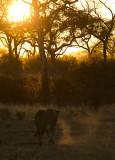Tsalala Lioness Cold Morning Stroll