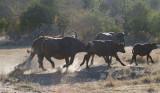 Buffalo On The Run