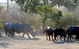 Rhino and Buffalo
