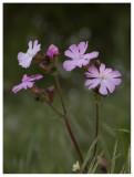 S. latifolia  x S. dioica