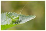 Tettigoniidae sp.