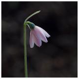 Leucojum roseum