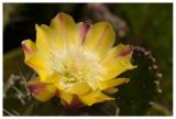 Opuntia ficus-india